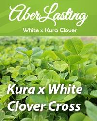 AberLasting – Kura-x-White-Clover-Cross
